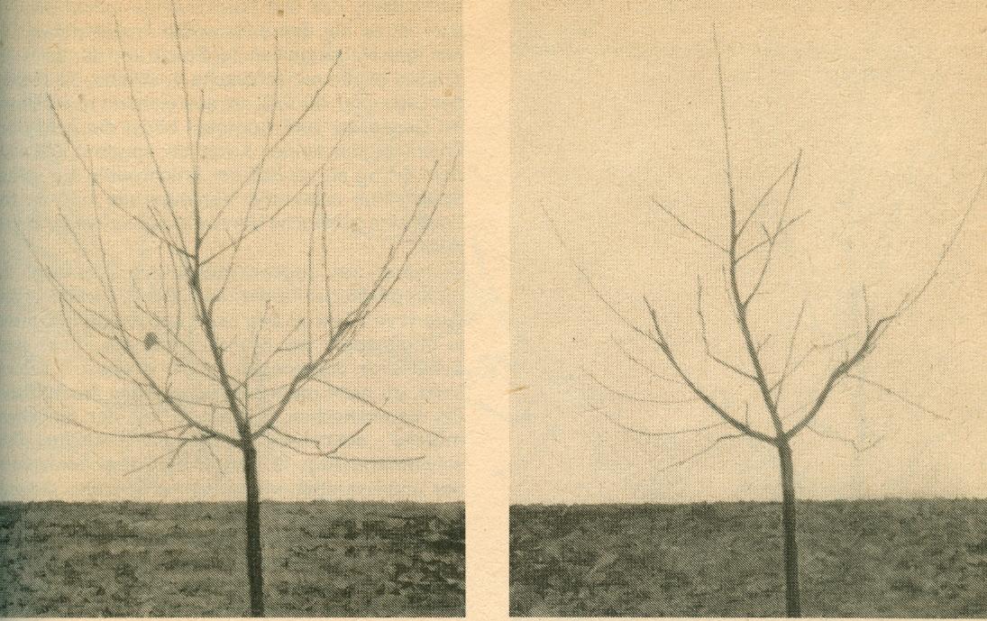 Gut gemocht Auch Kirschbäume brauchen ihren Schnitt - Meinen Kleingarten TO11
