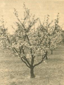 Schattenmorelle mit jährlich vereinzelten Fruchttrieben.