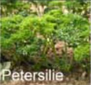 Gemüse wie Petersilie kultivieren