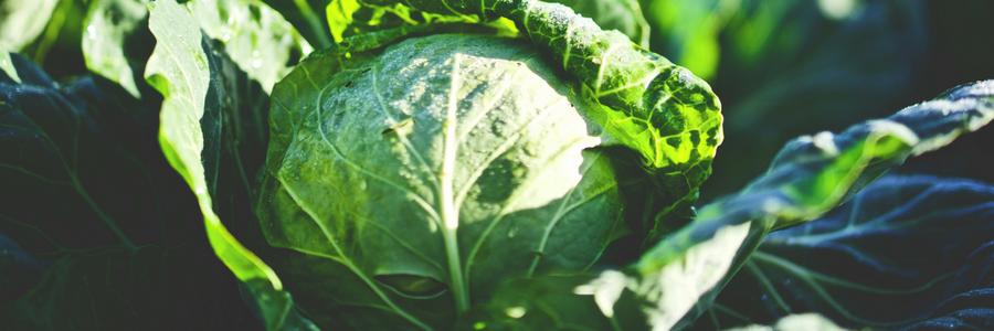 Bodenmüdigkeit bei Kohlarten fördert Krankheiten
