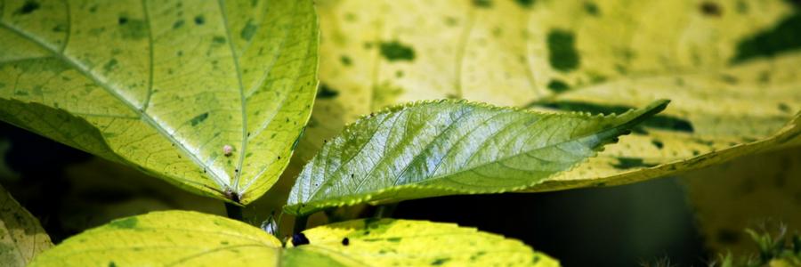Brennnessel Blätter