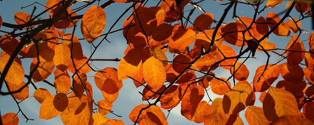 Felsenbirne-Herbstlaub