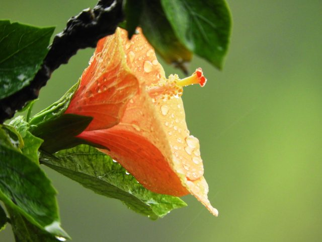 Hibiskus im Garten – Was man wissen sollte