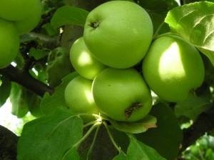 Fruchtraube mit 5 Äpfel