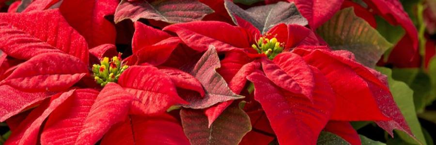 Weihnachtsstern mit Blüten