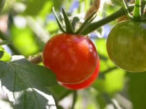 tomatoes-3-1532477